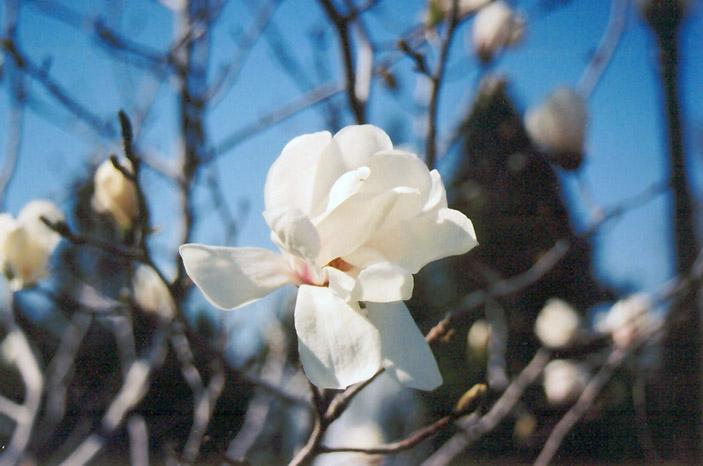 Merrill Magnolia Magnolia X Loebneri Merrill In Portland