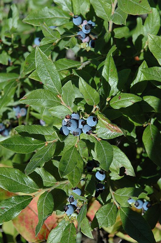 Lowbush Blueberry Vaccinium Angustifolium In Portland