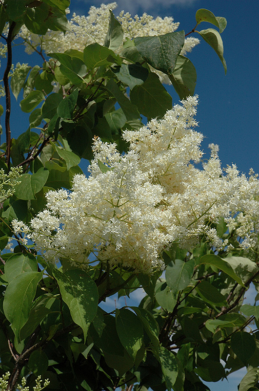 Ivory silk tree lilac tree form syringa reticulata ivory silk ivory silk tree lilac tree form syringa reticulata ivory silk tree mightylinksfo