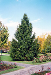 Norway Spruce (Picea abies) at Skillins Greenhouse