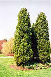Eastern Redcedar (Juniperus virginiana) at Skillins Greenhouse
