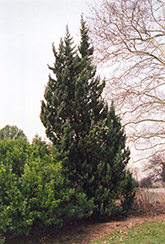 Robusta Juniper (Juniperus chinensis 'Robusta') at Skillins Greenhouse