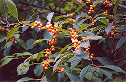 Yellow-Fruited Winterberry (Ilex verticillata 'Chrysocarpa') at Skillins Greenhouse