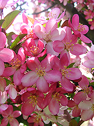 Camelot Flowering Crab (Malus 'Camelot') at Skillins Greenhouse