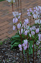 Shooting Star (Dodecatheon meadia) at Skillins Greenhouse