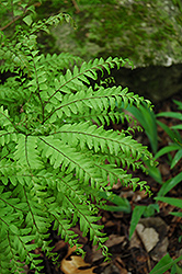Northern Maidenhair Fern (Adiantum pedatum) at Skillins Greenhouse