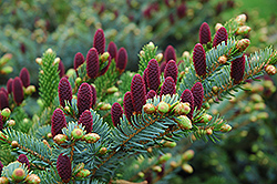 Red Cone Spruce (Picea abies 'Acrocona') at Skillins Greenhouse