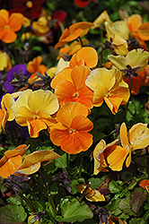 Penny Orange Pansy (Viola cornuta 'Penny Orange') at Skillins Greenhouse