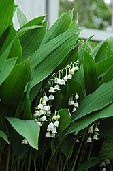 Lily-Of-The-Valley (Convallaria majalis) at Skillins Greenhouse
