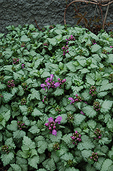Red Nancy Spotted Dead Nettle (Lamium maculatum 'Red Nancy') at Skillins Greenhouse