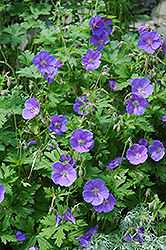 Johnson's Blue Cranesbill (Geranium 'Johnson's Blue') at Skillins Greenhouse