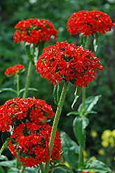 Maltese Cross (Lychnis chalcedonica) at Skillins Greenhouse