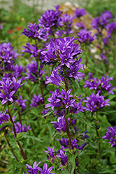 Clustered Bellflower (Campanula glomerata) at Skillins Greenhouse