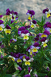 Johnny Jump-Up (Viola tricolor) at Skillins Greenhouse