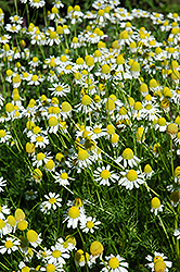 Chamomile (Matricaria recutita) at Skillins Greenhouse