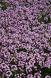 Red Creeping Thyme (Thymus praecox 'Coccineus') at Skillins Greenhouse