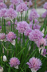 Chives (Allium schoenoprasum) at Skillins Greenhouse