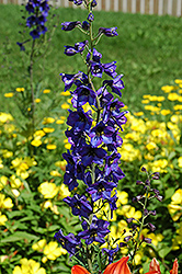 Black Knight Larkspur (Delphinium 'Black Knight') at Skillins Greenhouse