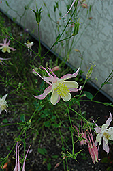 McKana Red Columbine (Aquilegia 'McKana Red') at Skillins Greenhouse