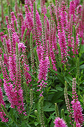 Red Fox Speedwell (Veronica spicata 'Red Fox') at Skillins Greenhouse
