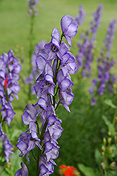 Common Monkshood (Aconitum napellus) at Skillins Greenhouse