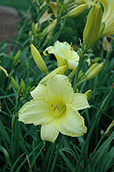 Happy Ever Appster® Happy Returns Daylily (Hemerocallis 'Happy Returns') at Skillins Greenhouse