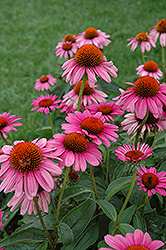 Ruby Star™ Coneflower (Echinacea purpurea 'Rubinstern') at Skillins Greenhouse