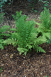 Lady Fern (Athyrium filix-femina) at Skillins Greenhouse
