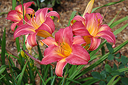 Cherry Cheeks Daylily (Hemerocallis 'Cherry Cheeks') at Skillins Greenhouse