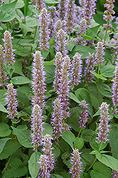 Blue Fortune Anise Hyssop (Agastache 'Blue Fortune') at Skillins Greenhouse