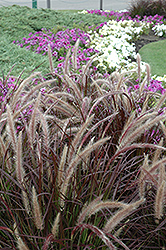 Purple Fountain Grass (Pennisetum setaceum 'Rubrum') at Skillins Greenhouse