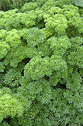 Parsley (Petroselinum crispum) at Skillins Greenhouse