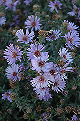 Woods Blue Aster (Aster 'Woods Blue') at Skillins Greenhouse