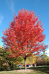 Autumn Blaze Maple (Acer x freemanii 'Jeffersred') at Skillins Greenhouse