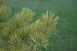Scotch Pine (Pinus sylvestris) at Skillins Greenhouse
