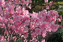 Cornell Pink Rhododendron (Rhododendron mucronulatum 'Cornell Pink') at Skillins Greenhouse