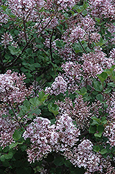 Dwarf Korean Lilac (Syringa meyeri 'Palibin') at Skillins Greenhouse