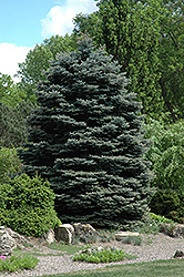 Fat Albert Blue Spruce (Picea pungens 'Fat Albert') at Skillins Greenhouse