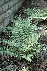 Ghost Fern (Athyrium 'Ghost') at Skillins Greenhouse