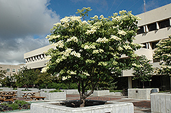 Ivory Silk Japanese Tree Lilac (Syringa reticulata 'Ivory Silk') at Skillins Greenhouse