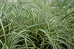 Evergold Variegated Japanese Sedge (Carex oshimensis 'Evergold') at Skillins Greenhouse