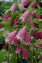 Cherry Bells Bellflower (Campanula punctata 'Cherry Bells') at Skillins Greenhouse