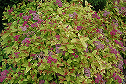 Magic Carpet Spirea (Spiraea x bumalda 'Magic Carpet') at Skillins Greenhouse