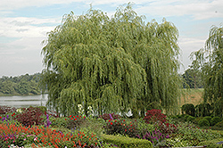 Golden Weeping Willow (Salix alba 'Tristis') at Skillins Greenhouse