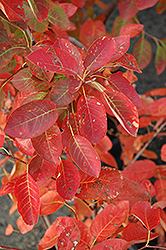 Autumn Brilliance Serviceberry (Amelanchier x grandiflora 'Autumn Brilliance') at Skillins Greenhouse