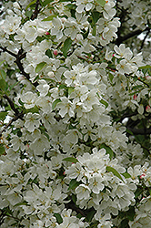 Donald Wyman Flowering Crab (Malus 'Donald Wyman') at Skillins Greenhouse