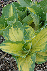 Great Expectations Hosta (Hosta 'Great Expectations') at Skillins Greenhouse