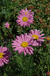 Robinson's Pink Painted Daisy (Tanacetum coccineum 'Robinson's Pink') at Skillins Greenhouse