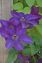 The President Clematis (Clematis 'The President') at Skillins Greenhouse