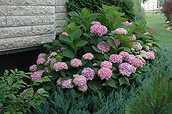 Endless Summer® Hydrangea (Hydrangea macrophylla 'Endless Summer') at Skillins Greenhouse